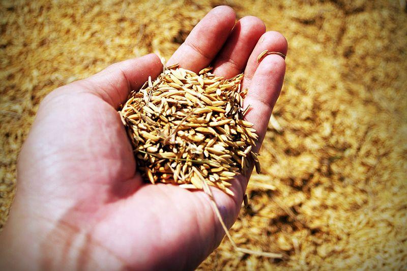 Gand full of grain